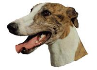Greyhound brindle122T