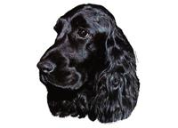 English coker spaniel black