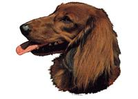 Dachshound longhaired026T