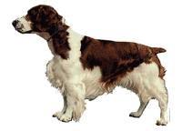 Welsh springer spaniel079T